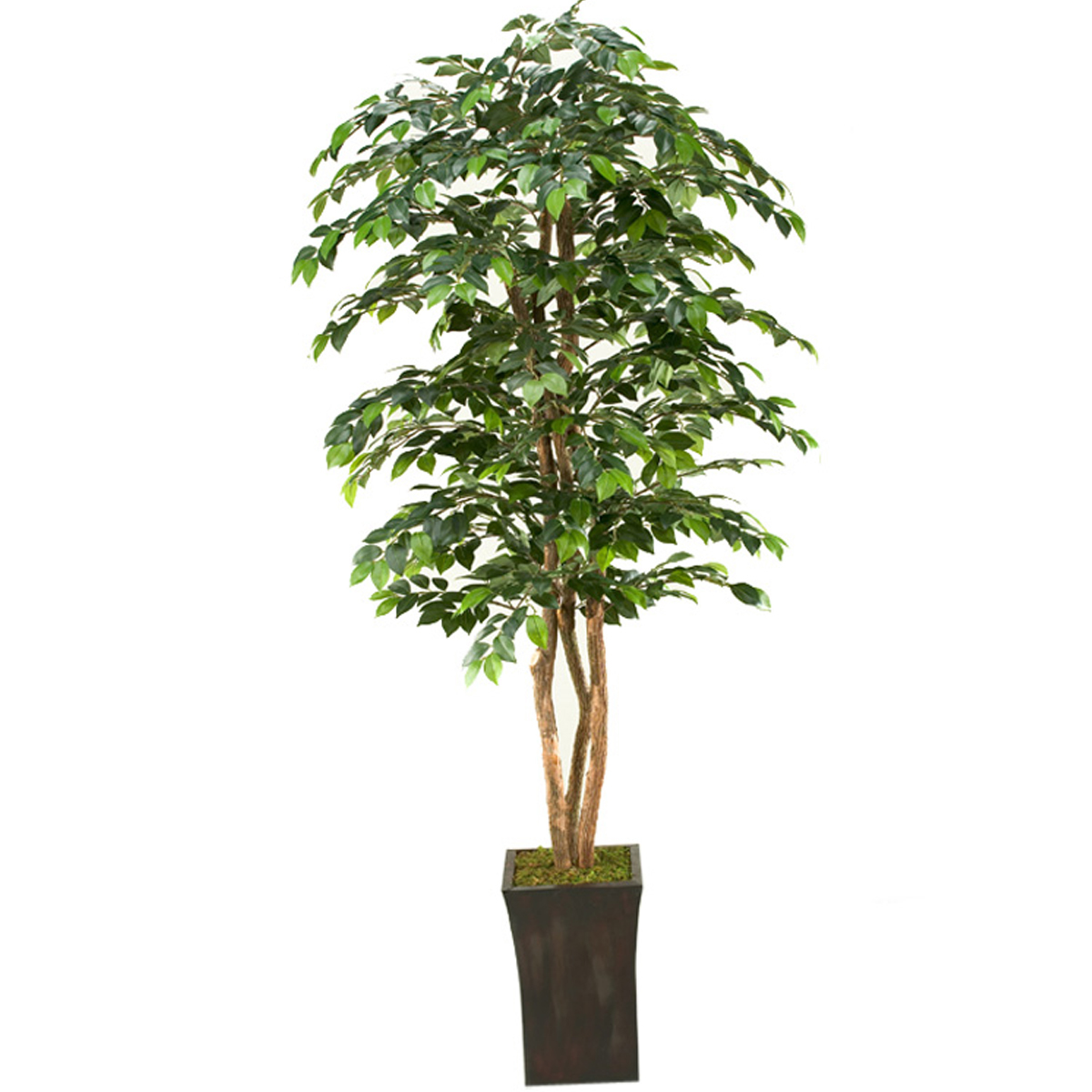 Picture of 7' SAKAKI TREE WITH PLANTER