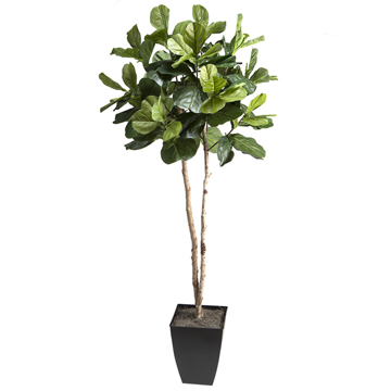Picture of 7' FIDDLE LEAF FIG TREE IN A SQUARE PLANTER